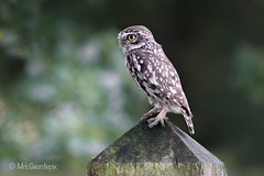 Little Owl (Mrs.Geordiepix) Tags: little owl littleowl