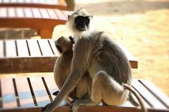 Monkey and its baby. #SriLanka (sabina_asp) Tags: trincomalee nilaveli canon canon750d ceylon motherhood animal wild monkey srilanka