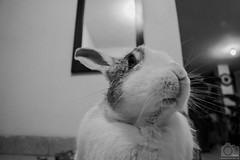 Bigotes... (Tato Avila) Tags: conejo colombia blanconegro monocromo bigotes rabbit animal vida