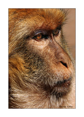 Have You Got My Good Side? (paulinecurrey) Tags: barbaryape portrait nature fauna face eyes nose morroco monkey