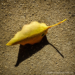 255366  12 September 2016  dry leaf on concrete (Doug Churchill) Tags: 365 366 sonyrx100m3 alone arid cement closeup closeups concrete dead death deaths dry foliage highangleview highangleviews highcontrast leaf leaflet loneliness lonely macro macromondays macros melancholy project project366 sad sadness
