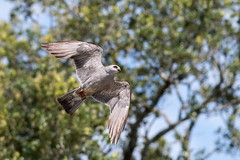 Mississippi Kite (PeterBrannon) Tags: bird florida ictiniamississippiensis marioncounty mississippikite nature wildlife inflight
