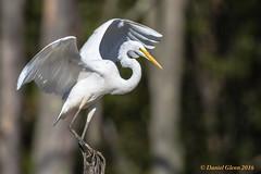 Great Egret (Ardea alba) (danielusescanon) Tags: greategret bird ardeaalba birdperfect wild animalplanet virginia huntleymeadowspark