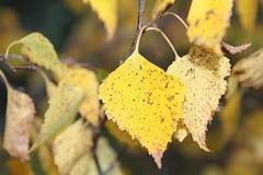 Syksyn lehtiä (Ebba Blomqvist) Tags: sysmä leaves autumn colors nature