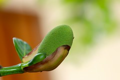 Jackfruit flower (I Nair) Tags: jackfruitflower jackfruit artocarpusheterophyllus chakka