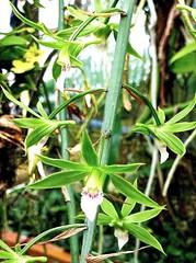 Eulophia euglossa 4 (heinvanwinkel) Tags: 2012 asparagales bloemvandedag cymbidieae epidendroideae eulophiaeuglossa eulophiinae euphyllophyta hortus juni leiden liliopsida magnoliophyta mesangiospermae nederland orchidaceae petrosaviidae spermatophyta tracheophyta
