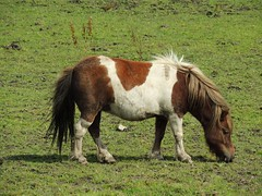 Shetland (Mustangjo) Tags: horse brown white field grass eating pony shetland
