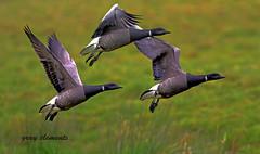 "brent geese ("" yer tis my ansome "") Tags: winter birds canon geese wings wildlife devon 7d birdsinflight migratory marsh westcountry migrants brentgeese geeseinflight brantabernicla canon300mmf28lisusm visitingbirds wildlifeindevon canon2xtcmk111"