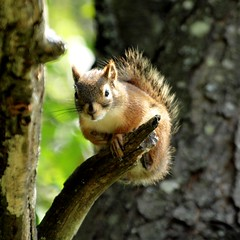 cureuil (Cokebuster) Tags: nature animal squirrel chipmunk animaux roux cureuil tamia