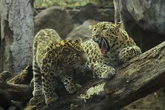 """Nap Time Now Junior!"" (Wolverine09J ~ 1 Million + Views) Tags: musictomyeyes endangeredspecies thegalaxy amurleopards certifiedphotographer naturesprime artistoftheyearlevel2 russianwildlife redcarpethalloffame topphotoexpertlevel2 magicmomentsinyourlifelevel1 thelooklevel1red thelooklevel2yellow bestofredcarpethalloffame niceasitgets~level1 1goldwildlife 3palladiumwildlife"