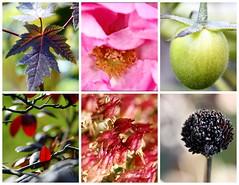 52 Weeks...Week 45 Colors of Nature (elliemae224) Tags: macro rose canon tomato rhododendron mapleleaf blackeyedsusan 2012 week45 macrolicious 522012 52weeksthe2012edition weekofnovember4
