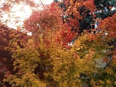 Acer Palmatum Sango Kaku (amt40) Tags: autumn leave leaves garden maple momiji japanesemaple acer otoño 紅葉 deciduous acerpalmatum shrubs palmatum arce deciduousshrub irohamomiji acerpalmatumsangokaku イロハカエデ イロハモミジ arcejaponés