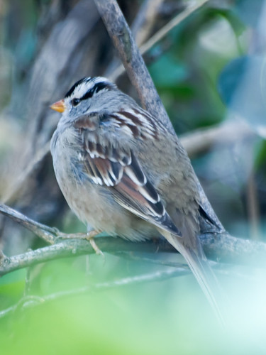 """White-crowned Sparrow • <a style=""""font-size:0.8em;"""" href=""""http://www.flickr.com/photos/59465790@N04/8176199901/"""" target=""""_blank"""">View on Flickr</a>"""
