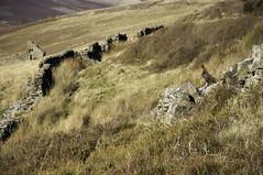 Grouse (Keartona) Tags: autumn colour bird stone wall landscape derwent derbyshire grouse valley moors moor