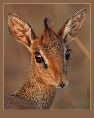 Eyes only for you! (Rainbirder) Tags: ngc npc madoquakirkii kirksdikdik tsavowest specanimal specanimalphotooftheday mygearandme mygearandmepremium mygearandmebronze mygearandmesilver mygearandmegold mygearandmeplatinum mygearandmediamond rainbirder