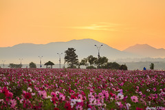Dawn of Cosmos Field (Light of Peace) Tags: morning pink red orange cloud sunlight mountain flower tourism nature field horizontal sunrise river outdoors photography day growth southkorea dramaticsky hanriver tranquilscene traveldestinations colorimage famousplace beautyinnature cosmosflower koreatour southkorealandscape