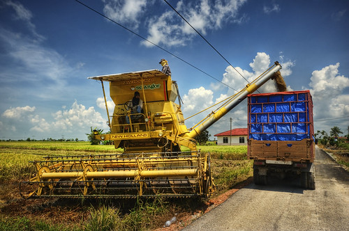 Paddy Harvest Season