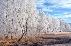 the willows in winter 2 (gregor H) Tags: winter cold color ice nature beautiful weather fog season spectacular landscape outside outdoors austria landscapes frozen frost quiet view natural outdoor hoarfrost country extreme smooth scenic freezing peaceful tranquility frosty calm clean clear velvia silence freeze daytime serene icy rime wintertime pure idyllic tranquil scenics placid icecrystals peacefulness calmness quietness hoar phenomenon phenomena coldness wintry willowtrees vorarlberg whitetrees frosts rimeice nikonf4s koblacherried coveredwithfrost whitewillows sunshineonfrost hoarfrosts