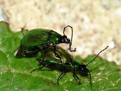 Bettle - Escarabajo o cucarrón (Hugo Quintero) Tags: macro love amor escarabajo bettle dcr250 raynox greatnature macrolicious cucarron
