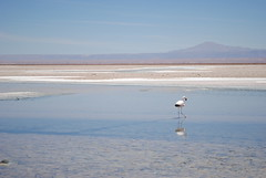 Flamingo - Salar de Atacama (BruceW.) Tags: pink lake mountains reflection bird rose de lago mirror nikon flat flamingo salt rosa lac reflet espejo reflejo atacama desierto mm nikkor 18 55 miroir sel salar sal montaas montagnes dsert flamant