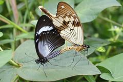 IMG_3503 Papilio dardanus, copula (Raiwen) Tags: africa westafrica guinea butterflies papilionoidea papilionidae papilio dardanus sexualdimorphism moyenneguinée forest garden copula mimicry polymorphism papiliodardanusfhippocoonides butterfliesoffoutadjalon