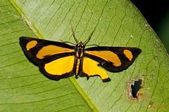 Cabirus procas - Hesperiidae ( BlezSP) Tags: cabirus procas hesperiidae peru madrededios tambopata butterfly tropicalskipper neotropical malinowski river faunaforever skipper aunaforever lepidoptera