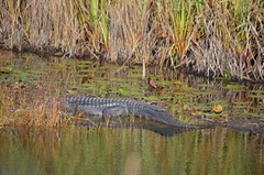 A bashful gator (vacationer1901) Tags: florida alligator greatblueheron whiteibis greategret snowyegret tricoloredheron anhinga shorebirds stmarksnationalwildliferefuge commonmoorhen redheadduck queenbutterfly glossyibiswoodstork