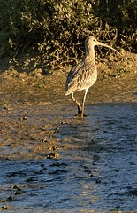 footprints in the...mud! (richbriggs28) Tags: west sussex selsey curlew richbriggs28
