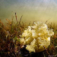 Lay down (Ellen Cuylaerts) Tags: sunlight jellyfish north down sound mangroves sunrays caymanislands upside grandcayman underwaterphotography upsidedownjellyfish ellencuylaerts