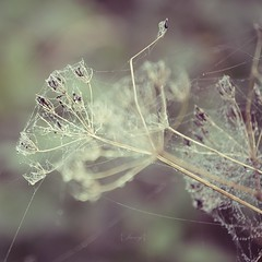 Cobwebs (Electra_star) Tags: autumn winter wild plant bokeh decay dew cobwebs intricate greatexpectations
