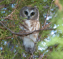 Northern Saw-whet Owl (Aegolius acadicus) (fugle) Tags: owl bird northernsawwhetowl nevada