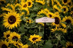 Sunflowers of Bellagio (innershell) Tags: lasvegas nevada conservatory sunflowers bellagio botanicalgardens x100