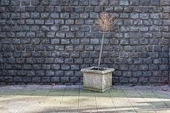 Coolsingel (Giara,) Tags: street plant netherlands rotterdam nederland streetscape straat wallscape