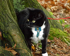 CAT ON A LEASH! (ikan1711) Tags: park autumn fall leaves cat blackcat wildlife foliage fallscenes catonaleash walkingthecat lifeinthepark autumnscenes parkscenes catinpark