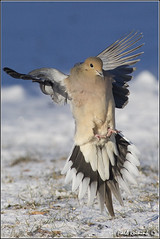 Mourning Dove (Earl Reinink) Tags: ontario canada art nature photography nikon flickr photographer image images earl flikr d4 art nikon photography images birds mouringdove nature lens ontario canada ontbirds fine earl photographer lenses niagara reinink reinink d4 niagara 201102230098