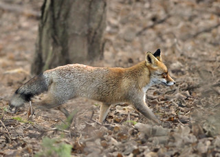 Male red fox