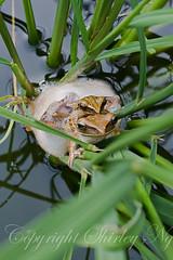 20121202-20121202img_3013 (shirl6900) Tags: nature singapore amphibian eosm polypedatesleucomystax fourlinedtreefrog ef50mmf25macrolens