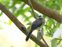 White-eared Sibia_P1080440 (Ian Liao) Tags: bird lens lumix g panasonic photographs eco 生態 鳥 vario 100300mm m43 mft gh2 lumixg gf5 freedomtosoarlevel1birdphotosonly freedomtosoarlevel2birdphotosonly freedomtosoarlevel2birdsonly
