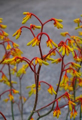 Kangaroo paw (igomak) Tags: red brisbane hires yellowflowers kangaroopaw australiannative anigozanthos haemodoraceae tubularflowers stluciacampus