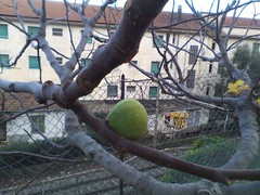 fichi si nasce! :-) (riky.prof) Tags: autumn winter tree fall fig albero inverno autunno figs imperia fico dianomarina fichi ikyprof