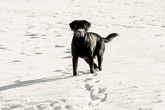 Just Lotte | Black Labrador Retriever and snow