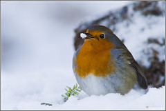 Almost Winter (wimzilver) Tags: snow cold bird robin sneeuw vogels 7d vogel koud roodborstje hanbouwmeester hofvantwente wimzilver canon300mmf4lis14ex vogelhuthanbouwmeester