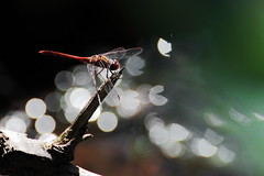 Hunting Lightspots (v.ph.j.) Tags: dragonfly makro darter ruddy heidelibelle blutrote