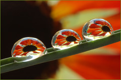 Flower Water Drop Macro, Three in a Row (Don Briggs) Tags: threeinarow tamron90mmmacro waterdropmacro canon40d donbriggs flowerdroprefraction