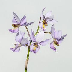 Barkeria whartoniana - 2012-12-09-_DSC3926 (jakobae) Tags: tag herbst pflanzen orchidaceae gewchshaus orchideen grten greenhaus bltenpflanzen spermatophyta samenpflanzen infloreszenz magnoliophytina bedecktsamigepflanzen 01jakob gartenundgewchshauspflutiere bltenstandblten gartenundgewchshaus pflutiere angiospermaebedecktsamige barkeriawarthonianabtyp7gekfeb2011inbern
