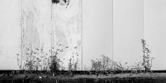 wall and a plant (SOVA5) Tags: blackandwhite plant wall ricoh grd grd2 grdigital2