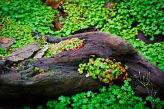 Garden of Wild Clover. (Omygodtom) Tags: park red wild green nature leaves nikon bokeh driftwood existinglight clover tamron