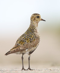 Golden Plover (Martial2010) Tags: golden plover north uist outer hebrides scotland canon