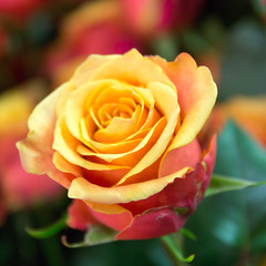 rose jaune (mout1234) Tags: closeup fleur flower grosplan jaune nature rose