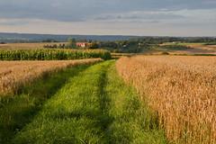 Gegend um Gut Tachenhausen (Vitatrix) Tags: outdoor badenwrttemberg tachenhausen landschaft landscape landwirtschaft getreide pflanzen mais himmel hgelkette